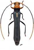 Neonitocris calva ♀, Saperdini, Gabon