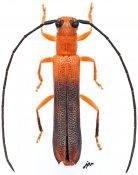 Oberea jordani, ♀, Saperdini, Gabon
