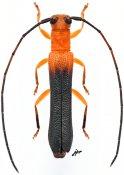 Oberea jordani, ♂, Saperdini, Gabon