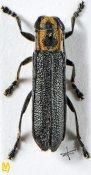 Saperda bilineatocollis, ♀, Saperdini, Sichuan