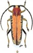 Stibara suturalis, ♀, Saperdini, India