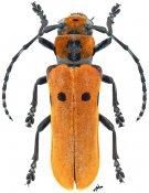 Mimocagosima ochreipennis, ♀, Saperdini, Laos