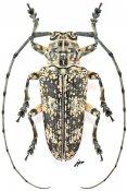 Pterochaos irroratus, ♂, Sternotomini, Gabon