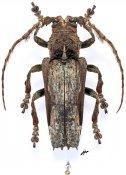 Stenobia pradieri, ♀, Stenobiini, Gabon