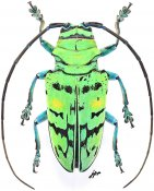 Sternotomis callais, ♀, Sternotomini, Gabon