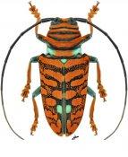 Sternotomis chrysopras, ♀, Sternotomini, Gabon