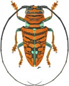 Sternotomis chrysopras, ♂, Sternotomini, Gabon