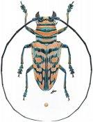 Sternotomis mathildae, ♂, Sternotomini, Cameroon