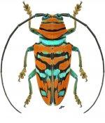 Sternotomis pulchra, ♀, Sternotomini, Gabon