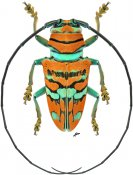 Sternotomis pulchra, ♂, Sternotomini, Gabon