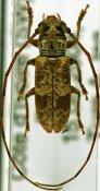 Bangalaia turei, ♂, Prosopocerini, Ivory Coast