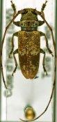 Bangalaia turei ♂, Prosopocerini, Ivory Coast