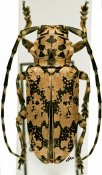 Freadelpha eremita eremita, ♂, Sternotomini, Senegal