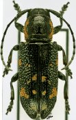 Anatragoides exigua, ♀, Sternotomini, R. P. Congo