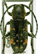 Anatragoides exigua, ♂, Sternotomini, R. P. Congo