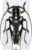 Freadelpha amoena, ♀, Sternotomini, R. P. Congo