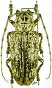 Pterochaos irroratus, ♀, Sternotomini, R. P. Congo