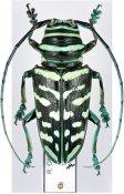 Sternotomis virescens ♀, Sternotomini, Ivory Coast