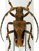 Temnoscelis waddeli, ♂, Stenobiini, Cameroon