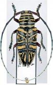 Zographus hieroglyphicus, ♂, Sternotomini, Tanzania