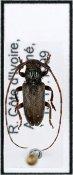 Tetraulax ♂, Tetraulaxini, Ivory Coast