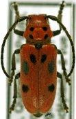 Tetraopes tetrophthalmus, ♀, Tetraopini, Quebec
