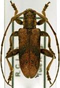 Planodema congoensis congoensis, ♂, Theocridini, Ivory Coast