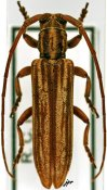 Planodema flavovittata flavovittata, ♀, Theocridini, Ivory Coast