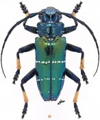 Sphingnotus mirabilis mirabilis, ♂, Tmesisternini, Eastern New Guinea