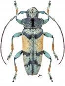 Tmesisternus albari, ♂, Tmesisternini, Sulawesi