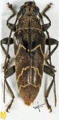 Tmesisternus bruijnii, ♂, Tmesisternini, West New Guinea