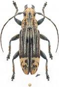 Tmesisternus elegans, ♀, Tmesisternini, Eastern New Guinea