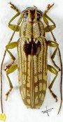 Tmesisternus gressitti, ♂, Tmesisternini, West New Guinea