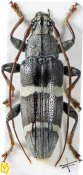 Tmesisternus ruficornis, ♂, Tmesisternini, Seram
