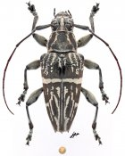 Trigonoptera maculata, ♀, Tmesisternini, Aru