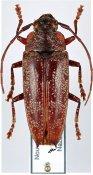Arrhenotoides dubouzeti, ♀, Tmesisternini, New Caledonia