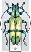 Tmesisternus isabellae, ♀, Tmesisternini, West New Guinea