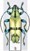 Tmesisternus isabellae, ♂, Tmesisternini, West New Guinea