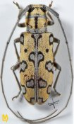 Isochariesthes breuningstefi, ♂, Tragocephalini, Zambia