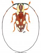 Murosternum pulchellum pulchellum, ♀, Tragocephalini, Gabon