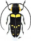 Tragocephala nobilis, ♀, Tragocephalini, Gabon