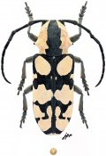 Tragocephala sp., ♀, Tragocephalini, Tanzania