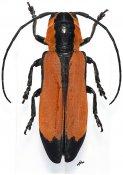 Tragocephala tournieri, ♀, Tragocephalini, Cameroon