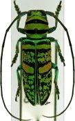 Anatragus pulchellus ♂, Tragocephalini, Cameroon