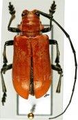 Tragocephalini • Aparescus praecox • ♂