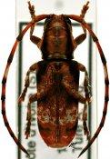 Armatosterna buquetiana, Tragocephalini, Ivory Coast