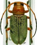 Chariesthes rubra, ♀, Tragocephalini, Cameroon