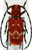 Callimation venustum, ♀, Tragocephalini, Madagascar