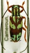 Chariesthes bella bella, ♀, Tragocephalini, Cameroon