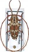 Chariesthoides bicornuta ♂, Tragocephalini, Kenya